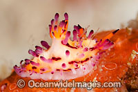 Nudibranch Aegires villosus photo