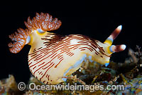 Nudibranch Nembrotha sp. photo