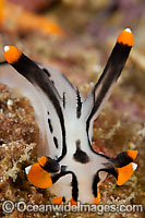 Nudibranch Thecacera picta photo