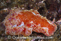 Spanish Dancer Hexabranchus sanguineus photo