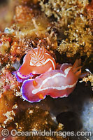 Nudibranch - mating pair photo