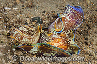 Sea Slug Philinopsis cyanea mating pair photo