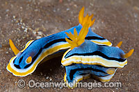 Nudibranch Chromodoris annae photo
