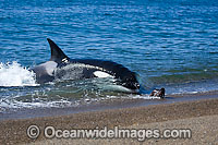 Orca attacking sea lion on shore Photo - Chantal Henderson