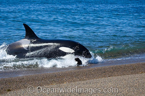 Orca, or Killer Whale (Orcinus orca) - approaching shore to attack a South American Sea Lion (Otaria flavescens). Photo taken at Punta Norte, Peninsula Valdes, Argentina. Orca's are listed as Lower Risk on the IUCN Red List. Sequence 3. Photo - Chantal Henderson