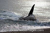 Orca on shore Photo - Chantal Henderson