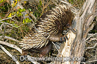 Short-beaked Echidna foraging for termites image