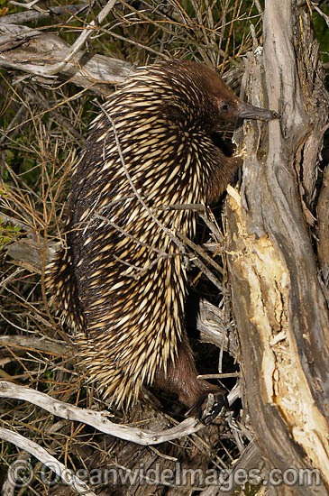 Short-beaked Echidna (Tachyglossus aculaetus), foraging for termites. Echidnas are egg laying mammals found throughout Australia. Photo taken Cape Schanck, Victoria, Australia Photo - Rudie Kuiter