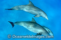 Bottlenose Dolphin Photo - David Fleetham