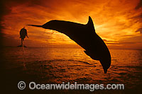 Bottlenose Dolphin leaping photo