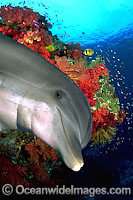 Reef and Bottlenose Dolphin photo