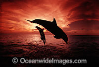 Bottlenose Dolphin breaching at sunset photo