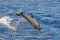 Spinner Dolphin breaching photo