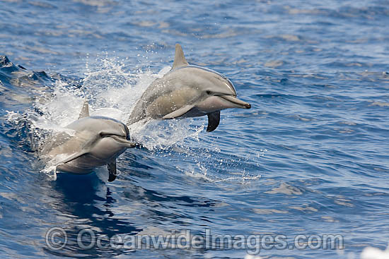 Spinner Dolphin (Stenella longirostris) breaching. Also known as Long-snouted Spinner Dolphin. Found in tropical waters around the world. Photo taken Hawaii, USA
