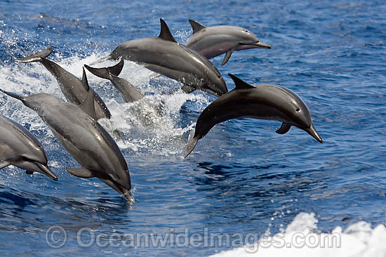 Spinner Dolphin (Stenella longirostris) breaching. Also known as Long-snouted Spinner Dolphin. Found in tropical waters around the world. Photo taken Hawaii, USA Photo - David Fleetham