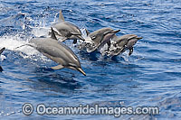 Spinner Dolphin breaching Photo - David Fleetham