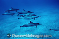 Spinner Dolphin Photo - David Fleetham