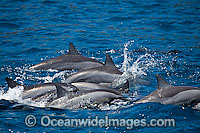 Spinner Dolphins porpoising Photo - David Fleetham
