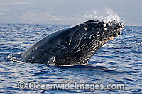 Humpback Whale Hawaii photo