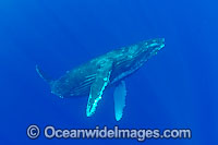 Humpback Whale underwater Photo - David Fleetham