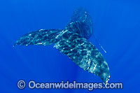 Humpback Whale tail fluke underwater Photo - David Fleetham
