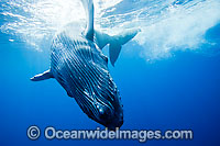 Humpback Whale calf underwater Photo - David Fleetham