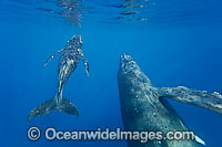 Humpback Whale mother & calf underwater photo