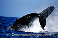 Humpback Whale peducle slapping surface photo