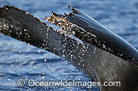 Humpback Whale barnacles image