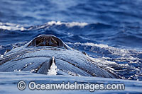 Humpback Whale blowhole photo