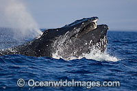 Humpback Whale blowing at surface photo