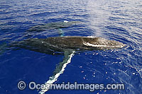 Humpback Whale mother and calf photo