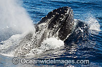 Humpback Whale expelling air photo