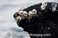 Humpback Whale barnacles photo