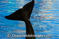 Orca powerful tail Photo - David Fleetham