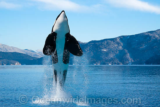 Killer Whale (Orcinus Orca) also known as Orca, breaching. This is a composite image. A captive Killer Whale image was digitally combined with a British Columbia, Canada, background image. Photo - David Fleetham