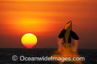 Orca breaching at sunset Photo - David Fleetham