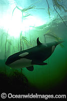 Orca in kelp forest Photo - David Fleetham