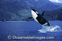 Orca breaching Photo - David Fleetham