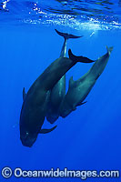 Short-finned Pilot Whale pod underwater Photo - David Fleetham