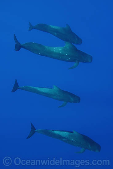 Short-finned Pilot Whale (Globicephala macrorhynchus) pod underwater. Found throughout the Indo-Pacific. Photo taken off Hawaii, USA.