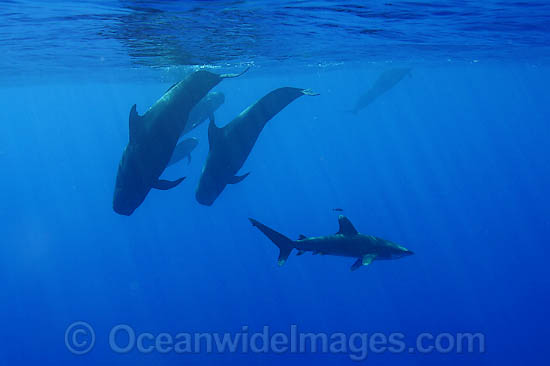 Short-finned Pilot Whale (Globicephala macrorhynchus) pod underwater with Oceanic Whitetip Shark (Carcharhinus longimanus). Found throughout the Indo-Pacific. Photo taken off Hawaii, USA.