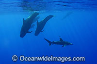 Short-finned Pilot Whale with Whitetip Shark Photo - David Fleetham