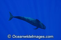 Short-finned Pilot Whale underwater Photo - David Fleetham