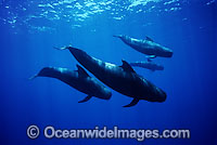 Short-finned Pilot Whales pod underwater Photo - David Fleetham