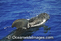Short-finned Pilot Whale blowing Photo - David Fleetham