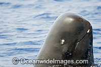 Short-finned Pilot Whale head Photo - David Fleetham