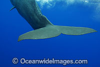 Sperm Whale tail fluke underwater photo