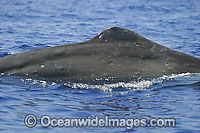 Sperm Whale on surface photo