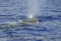 Sperm Whale expelling air photo